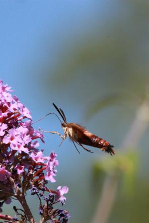 Hummingbird Clearwing on Buddleia July 22, 2015 Photo by Michelle Sharp