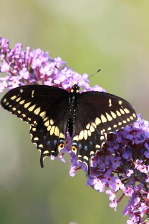 Eastern Black Swallowtail on Buddleia July 27, 2015 Photo by Michelle Sharp