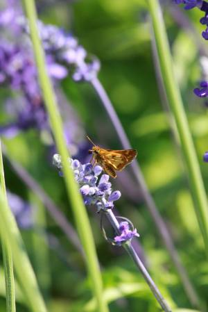 Peck's Skipper on Lavender July 27, 2015 Photo by Michelle Sharp