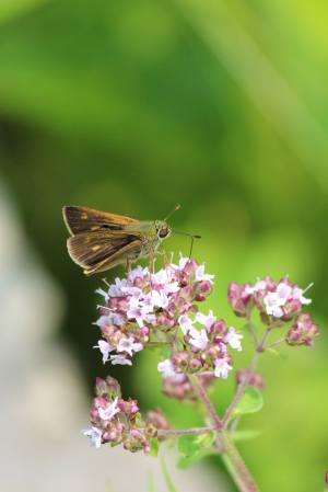 Peck's Skipper on Oregano July 4, 2015 Photo by Michelle Sharp