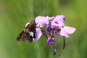 Silver-Spotted Skipper on Dame's Rocket July 4, 2015 Photo by Michelle Sharp