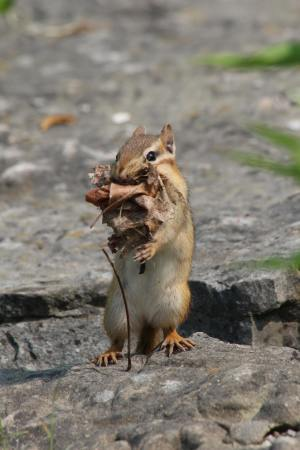 Chipmunk collecting nesting material July 5, 2015 Photo by Michelle Sharp