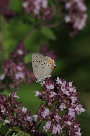 Acadian Hairstreak July 5, 2016 Photo by Michelle Sharp