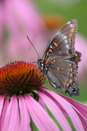 Red Spotted Purple July 21, 2016 Photo by Michelle Sharp