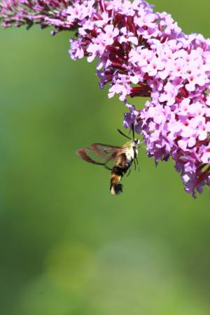 Snowberry Clearwing on Buddleia July 22, 2015 Photo by Michelle Sharp