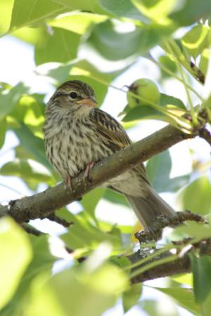 Young Song Sparrow July 2, 2016 Photo by Michelle Sharp