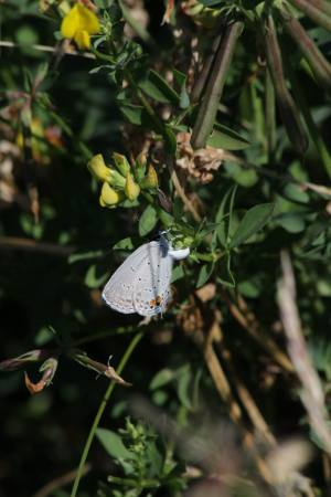 Eastern Tailed Blue July 2, 2016 Photo by Michelle Sharp