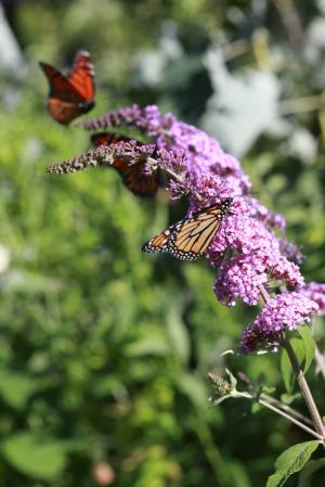 Monarch Pair on Buddleia July 30, 2015 Photo by Michelle Sharp