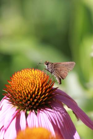 Skipper on Coneflower July 30, 2015 Photo by Michelle Sharp