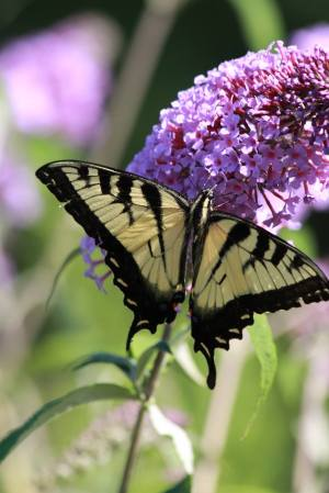 Tiger Swallowtail on Buddleia July 30, 2015 Photo by Michelle Sharp