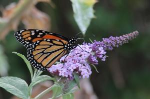 Male Monarch July 31, 2016 Photo by Michelle Sharp