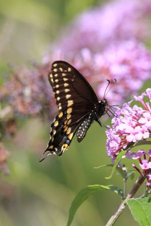 Black Swallowtail on Buddleia July 31, 2015 Photo by Michelle Sharp