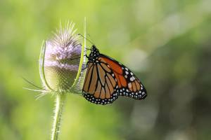 Monarch on Teazle July 31, 2015 Photo by Michelle Sharp