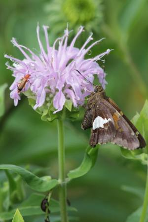 Silver Spotted Skipper July 6, 2016 Photo by Michelle Sharp