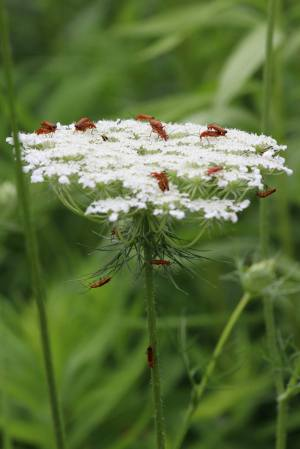 Common Red Soldier Beetles on Queen Anne's Lace July 8, 2015 Photo by Michelle Sharp