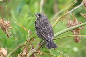 Young Cowbird July 9, 2015 Photo by Michelle Sharp