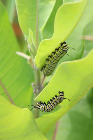 Two Monarch caterpillars on Milkweed July 9, 2015 Photo by Michelle Sharp