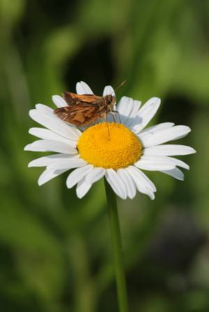 Pecks Skipper on Daisy June 10, 2015 Photo by Michelle Sharp