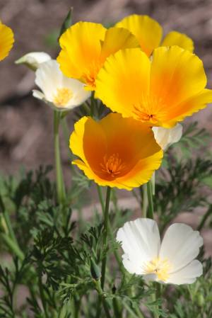 California Poppies June 21, 2015 Photo by Michelle Sharp