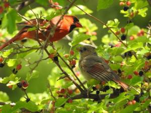 Male Cardinal and Young in Mulberry Bush June 25, 2015 Photo by Bonnie Kinder