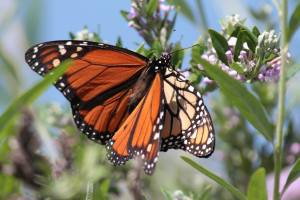 Mating Monarch Butterflies on Buddleia Alternifolia June 15, 2015 Photo by Michelle Sharp