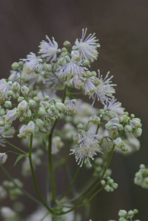 Meadow Rue May 30, 2015 Photo by Michelle Sharp