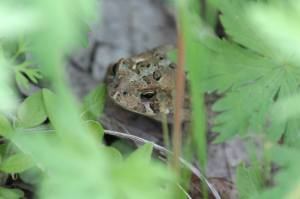 Toad May 21, 2015 Photo by Michelle Sharp