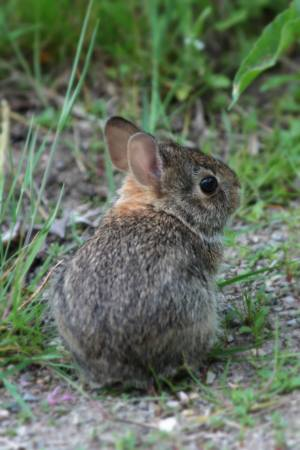 Young Rabbit May 27, 2015 Photo by Michelle Sharp
