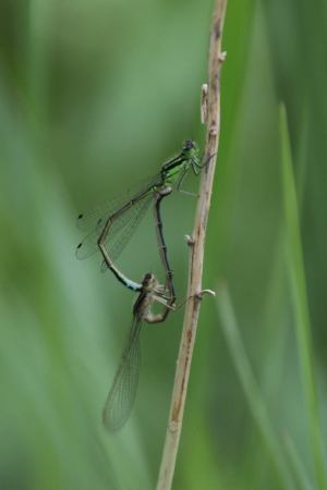 Mating Damselflies May 30, 2015 Photo by Michelle Sharp