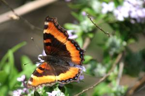 Milbert's Tortoiseshell on Buddleia Alternifolia June 15, 2015 Photo by Michelle Sharp