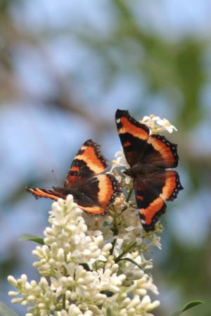 2 Milbert's Tortoiseshells on Privet June 15, 2015 Photo by Michelle Sharp
