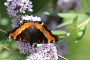 Milbert's Tortoiseshell on Buddleia Alternifolia June 21, 2015 Photo by Michelle Sharp