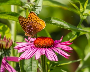 Great Spangled Fritillary on Purple Coneflower July 9, 2015 Photo by Mike Moffat