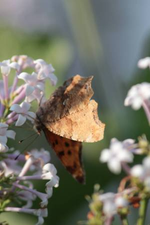 Comma on Korean Lilac June 10, 2015 Photo by Michelle Sharp