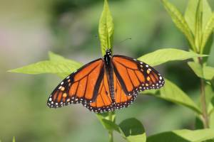 Male Monarch June 19, 2015 Photo by Michelle Sharp