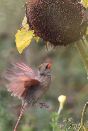 Cardinal at Sunflower Seed Head October 4, 2015 Photo by Michelle Sharp