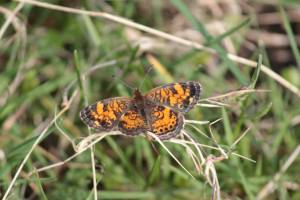 Pearl Crescent butterfly May 16, 2015 Photo by Michelle Sharp