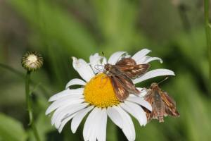 Peck's Skippers on Daisy June 16, 2015 Photo by Michelle Sharp