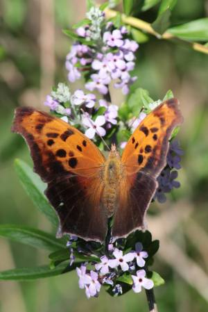 Comma on Buddleia Alternifolia June 16, 2015 Photo by Michelle Sharp