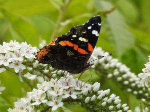 Red Admiral on Gooseneck July 15, 2015 Photo by Bonnie Kinder