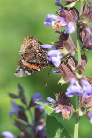 Red Admiral on Sage June 10, 2015 Photo by Michelle Sharp