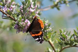 Red Admiral on Buddleia Alternifolia June 13, 2015 Photo by Michelle Sharp