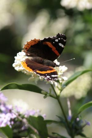 Red Admiral on Privet June 16, 2015 Photo by Michelle Sharp