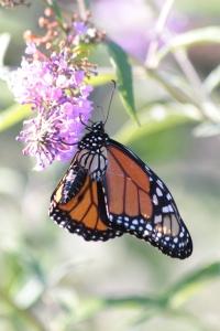 sept12_monarch2