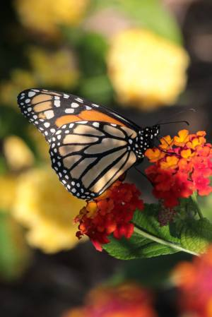 Monarch on Lantana September 15, 2015 Photo by Michelle Sharp