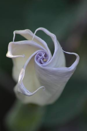Datura Beginning to Open September 15, 2015 Photo by Michelle Sharp