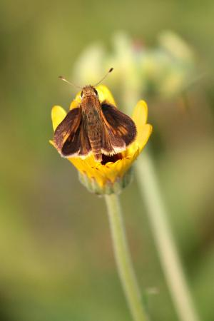Peck's Skipper on English Marigold September 1, 2015 Photo by Michelle Sharp