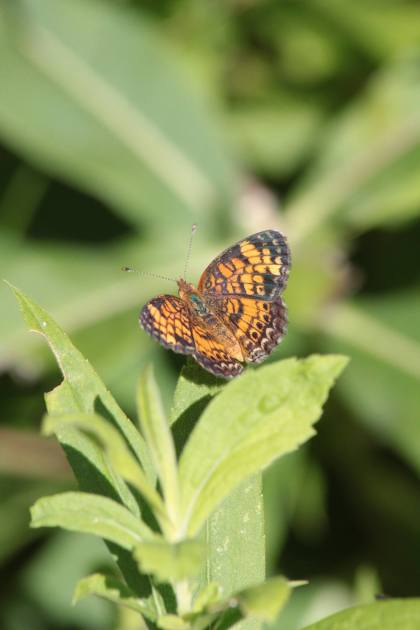 sept1_pearl-crescent