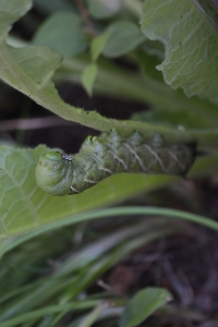 sept20_tobacco-hornworm1
