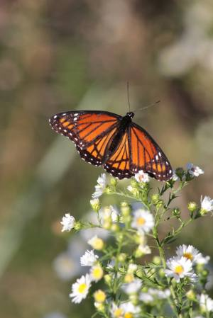 Viceroy on White Asters September 21, 2015 Photo by Michelle Sharp